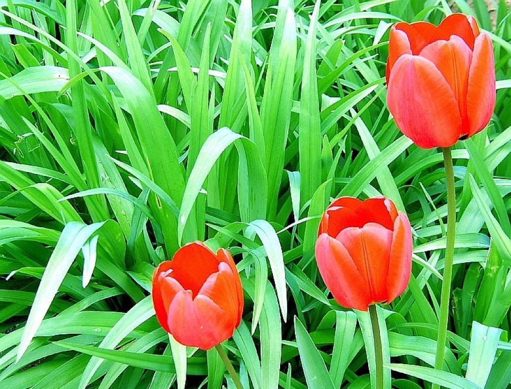 tulipes5.jpg